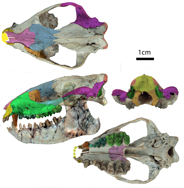 Figure 3. Alcidedorbignya skull about full scale at 72 dpi screen resolution. Select bones are colorized.