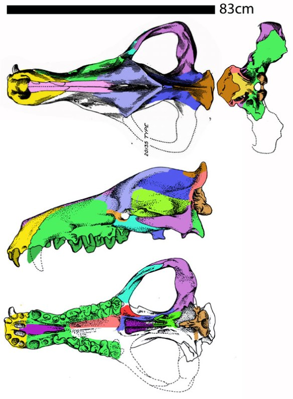 Figure 1. Andrewsarchus. Only the giant skull is known. This is a giant tenrec,another land-based pre-whale.