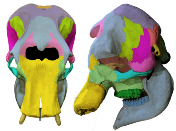 FigFigure 2. Skull of Elephas maximus with color overlays. Most of the bones are fused to one another, so this tracing is provisional, pending confirmation and/or better data. Compare to the skull of Procavis (Fig. 3).ure 2. Skull of Elephas maximus with color overlays. Most of the bones are fused to one another, so this tracing is provisional, pending confirmation and/or better data. Compare to the skull of Procavis (Fig. 3).