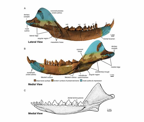 Figure 4. Haramiyava dentary showing what a more typical stem mammal dentary and teeth look like. Earlier studies linked this clade to multituberculates, but this dentary was cause to reject that association.