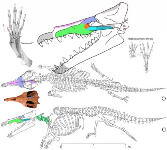 Figure 1. Maiacetus is a basal whale with legs and it is also a giant tenrec. Compare to Hemicentes in figure 2 and remember that another tenrec, Limnogale, has a long tail.