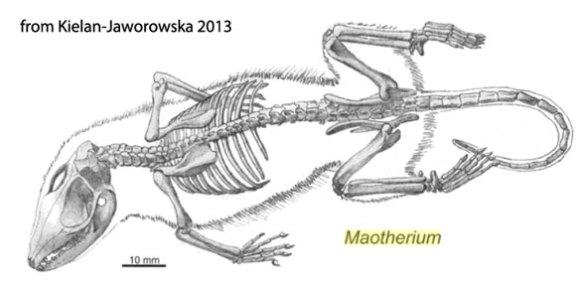 Figure 3. Maotherium illustrated in situ and cleaned up from Kielan-Jaworowska  2013. The skull is missing some overlooked traits in this illustration.