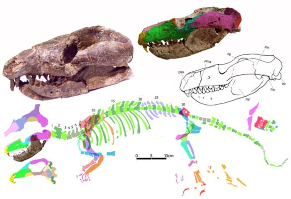 Figure 4. Repenomamus reconstructed using DGS methods. The manus and feet are loose figments at present. Despite its predatory nature, note the reduction in canines, a clade trait.