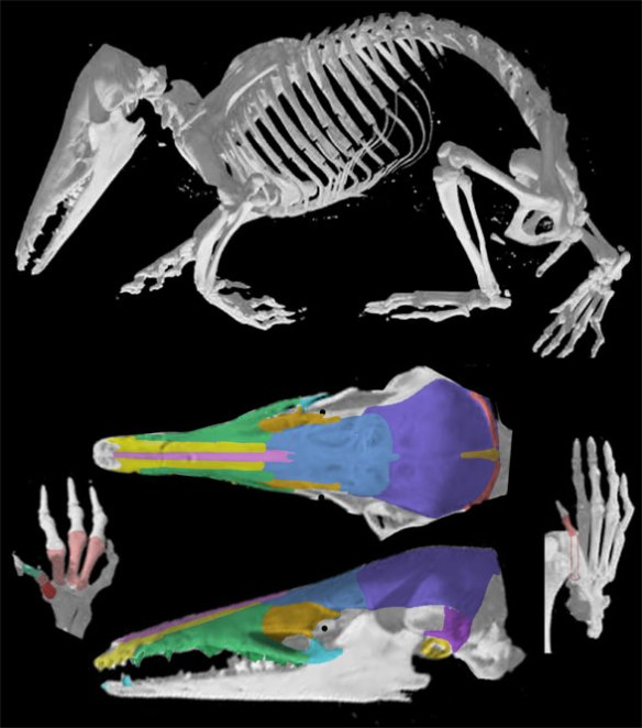 Figure 2. The short-tailed tenrec, Hemicentetes. Other than size and tail length, this taxon shares a long list of traits with the basal whale, Maiacetus in figure 1.