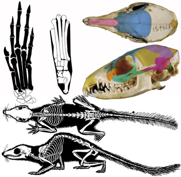 Figure 2. Tupaia, the tree shrew. Note the many similarities here to the much larger Trogosus (Fig. 1).