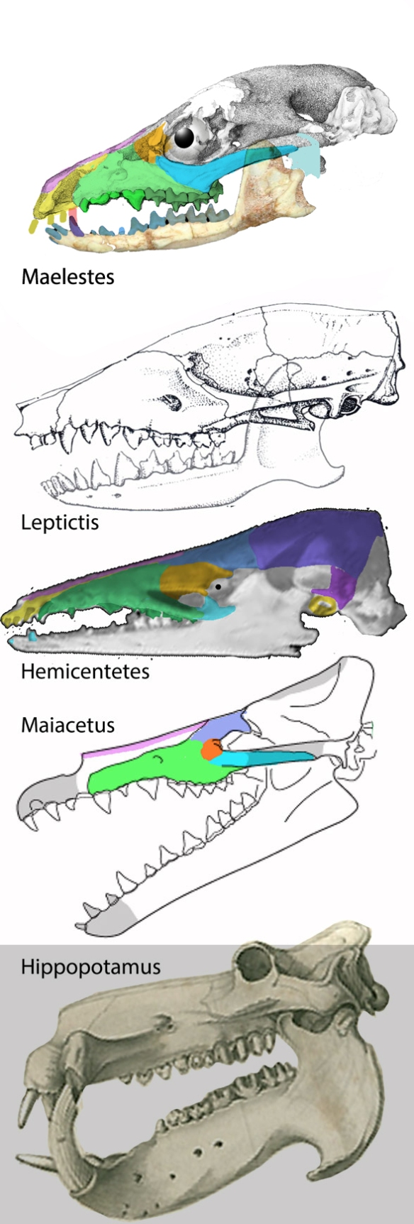 Figure 1. Whale ancestor skulls. Here Maelestes, Leptictis, Hemicentetes and Maiacetus demonstrate a gradual evolution of traits that cannot be improved by the traditional whale ancestor outgroup, Hippopotamus.