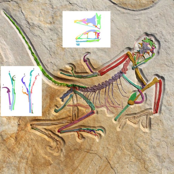 Figure 1b. Archaeopteryx 12 in higher resolution.