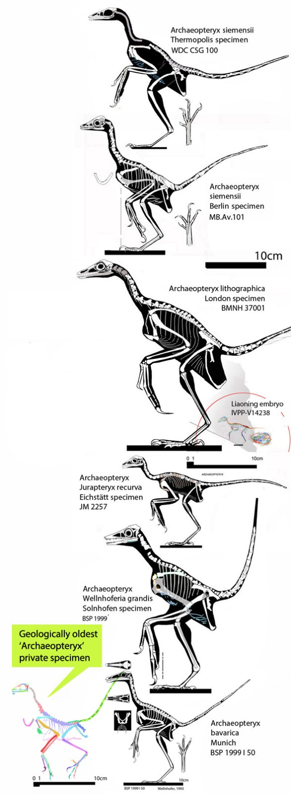 Figure 2. Several Archaeopteryx specimens. The geologically oldest one, (at bottom) is among the smallest and most derived, indicating an earlier radiation than the Solnhofen formation.