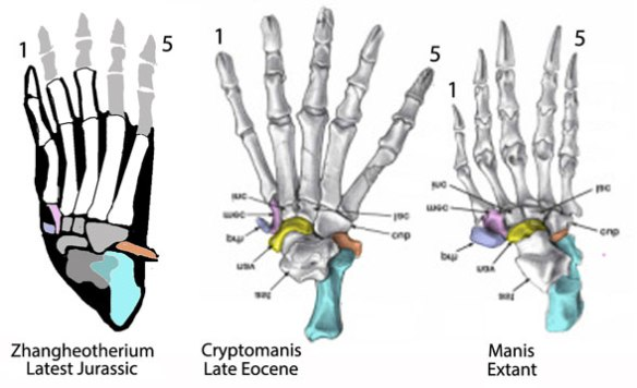 Figure 4. The pes of Zhangheotherium with spine in orange. The same bone shrinks in Cryptomanis and further in Manis.