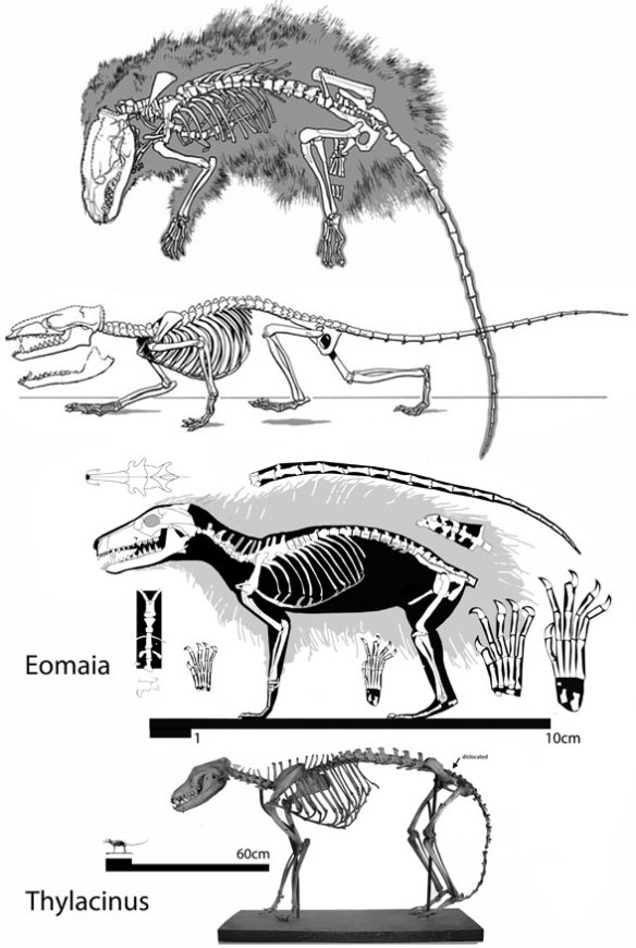 Figure 1. Eomaia in situ, as originally reconstructed, as reconstructed here and compared to Thylacinus. This is what this blog and ReptileEvolution.com do best. Show sister taxa together to scale and not to scale to drive home their similarities with a strong visual impression. You can always ask for the data matrix later.