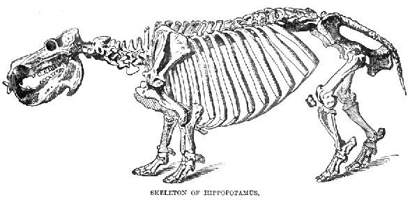 Figure 2. Hippopotamus, the living sister to the extinct Paleoparadoxia.