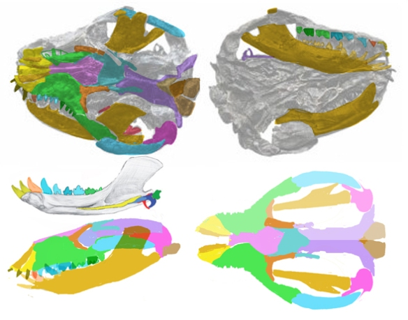 Figure 1. Liaocondon skull traced and reconstructed. In the LRT it most closely resembles that of Probainognathus. Note the enormous size of the temporal fenestrae, the downturned squamosals and postdentary bones, all shared with Probainognathus.
