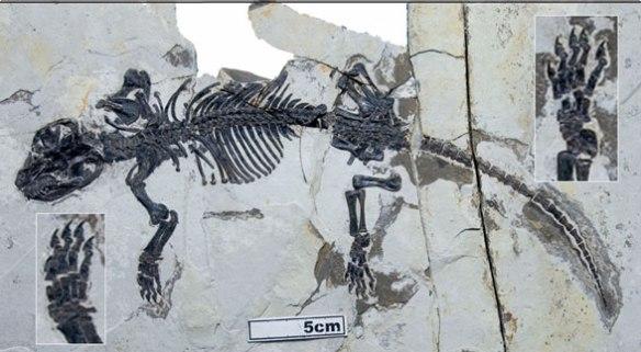 Figure 3. Liaoconodon in situ.