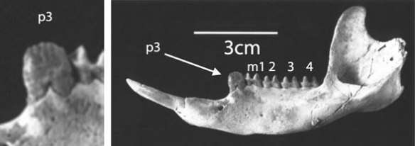 Figure 6. Nambaroo mandible. Note premolar 3 and its striking resemblance to the same tooth in multituberculates.