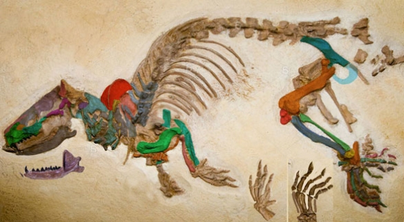 Figure 2. Palaeosinopa sans the tail with several bones colorized and extremities reconstructed.