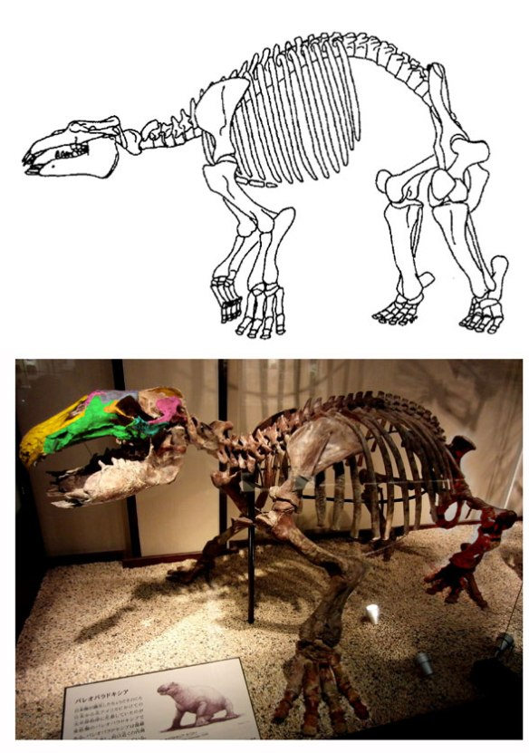 Figure 1. Paleoparadoxia turns out to be a long-legged sea hippo in the large reptile tree.