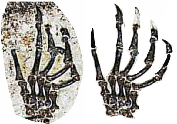 Figure 4. Manus of Shenshou in situ and reconstructed. Compare this the original reconstruction shown in figure 6.