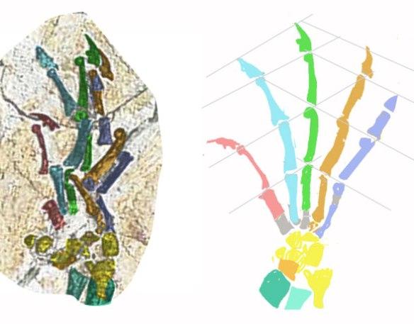 Figure 5. Shenshou pes reconstrution. The short calcaneum also indicates an arboreal taxon.