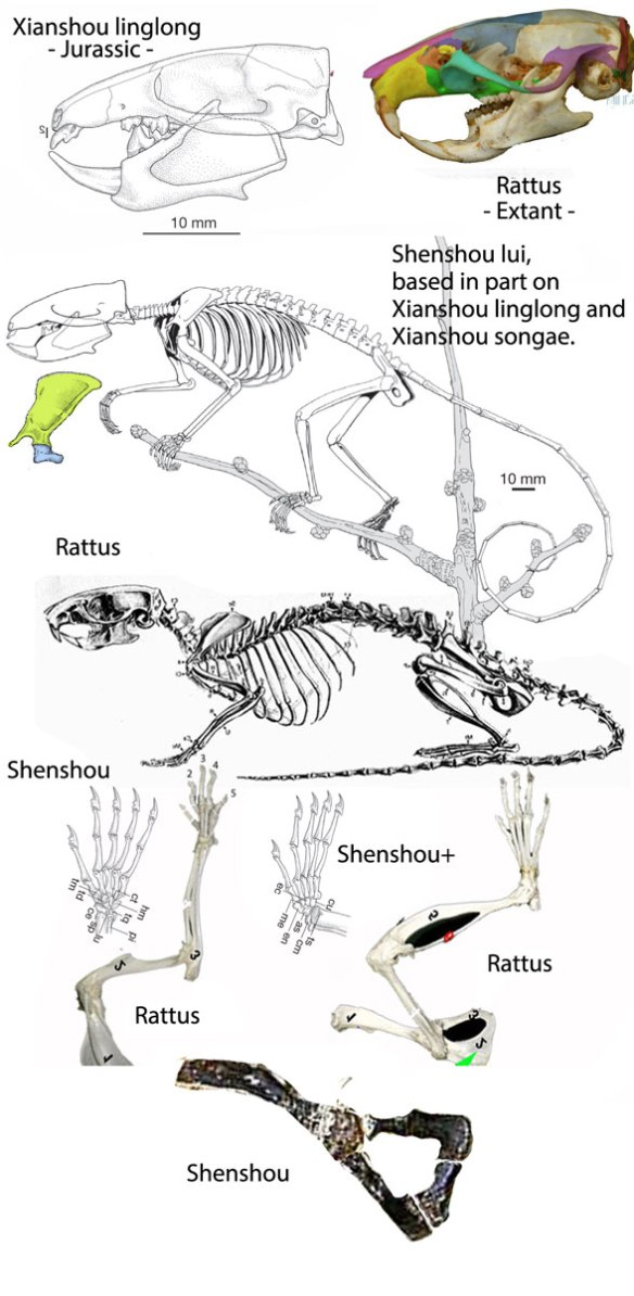Figure 6. Shenshou original art by or traced from Bi et al. 2014, compared to Rattus, the rat.