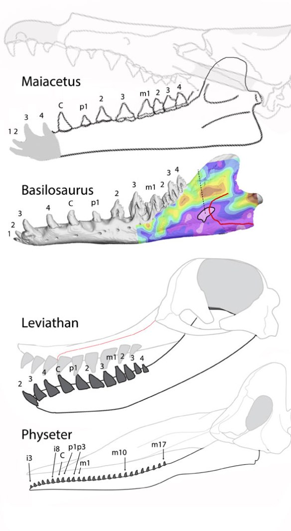 Figure 2. A first guess at the identify of sperm whale teeth based on the premaxilla/maxilla suture for placement of the canine. The other teeth are guesses based on patterns in more primitive whales.