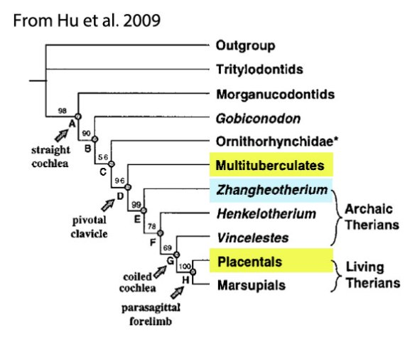 Figure 2. Hu et al. nested Zhangheotherium basal to the Placental/Marsupial split, contra the results of the large reptile tree.