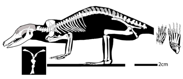 Figure 1. Zhangheotherium reconstructed. The tail is unknown. The high scapulae indicate great strength in the pectoral region, likely for arboreal locomotion in a taxon of this size. Zhangheotherium nests as a basal pangolin. It was preserved in ventral view. Here the epipubes are identified as pubes, which is otherwise not shown.