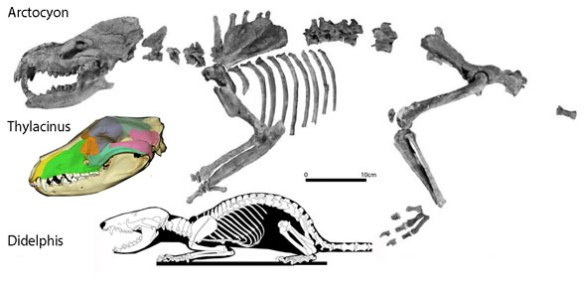 Figure 3. Arctocyon is no longer an ungulate placental, but a carnivorous marsupial, close to Thylacinus.
