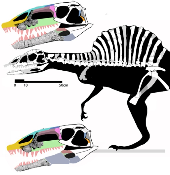 Figure 2. Arizonasaurus. Not sure which of the two mandibles is correct here, so both are presented. Note, neither manus nor pes is preserved in the specimen.