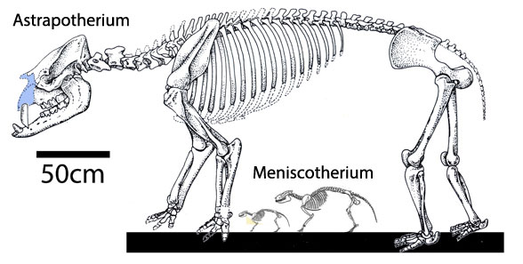 Figure 4. Astrapotherium to scale with two specimens of Meniscotherium.