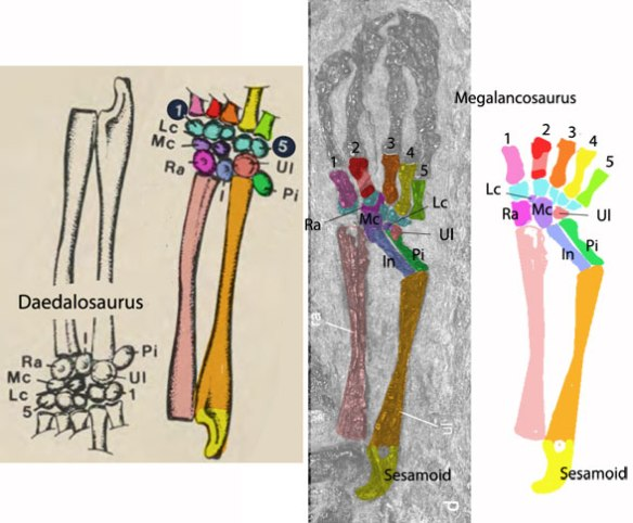Figure 4. Carpus of Megalancosaurus in situ, in vivo and compared to a relatively close outgroup taxon that preserves carpal elements, Daedalosaurus, a kuehneosaur.