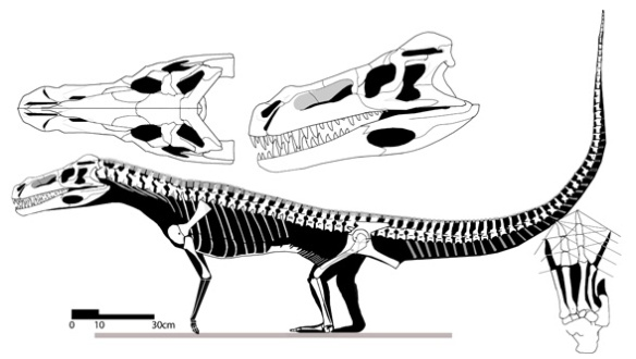 Figure 5. Decuriasuchus does not preserve the manus, but it was probably small based on the forelimb.