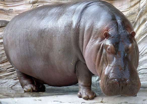 Figure 1. Living hippopotamus. Now I ask you, does this look like a relative to deer and giraffes? Or to mesonychids?