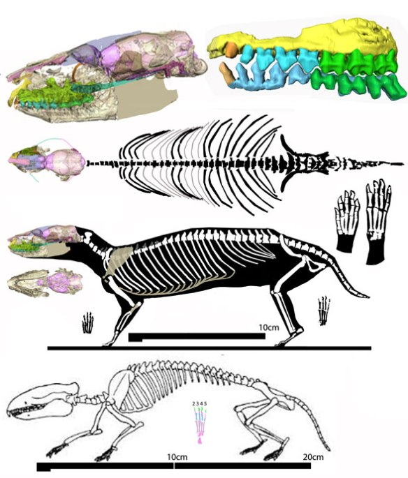 Figure 1. Hyopsodus as originally reconstructed (below) and as reconstructed here above in two views. This former condylarth now nests with dogs.