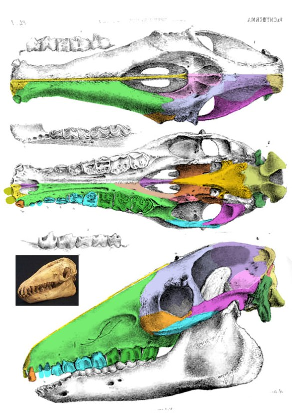 Figure 2. Macrauchenia skull in several view (from Owen 1836?) with bones colorized here. Note the dorsal extension of the premaxilla.