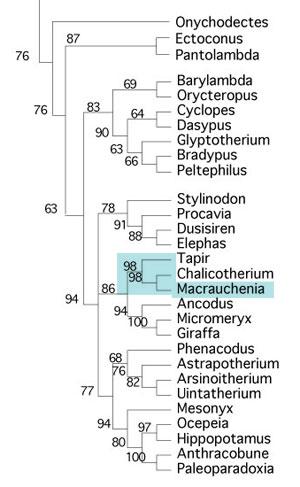 Figure x. Macrauchenia cladogtam. Tapir and Chalicotherium are perissodactyls.