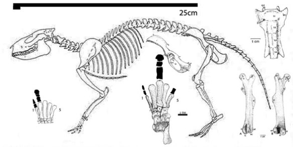 Figure 3. Meniscortherium skeleton. The fingers and toes are not known. This reconstruction differs from the original in that the pelvis is rotated more vertically.