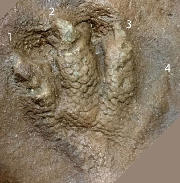 Figure 3. Manus impression of man v3245. Note the heavy scales here.