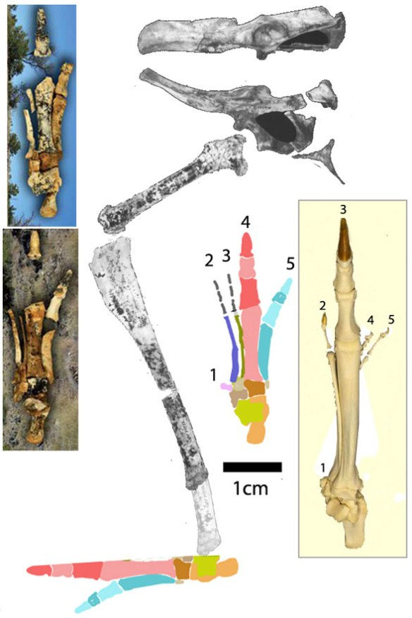 FIgure 4. Nambaroo hind limb reconstructed and compared to the Macropus kangaroo pes. Note: Nambaroo enlarges pedal digit 4, whereas Macropus enlarges digit 3. Remarkable convergence.