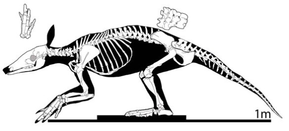 Figure 3. Orycterpus, the extant aardvark, is a living sister to Barylambda from the Paleocene.