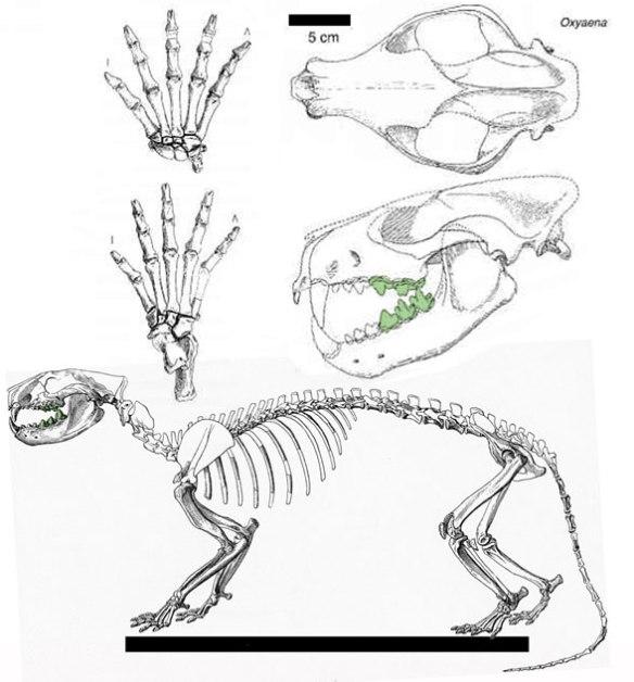 Figure 2. Oxyaena, a credont/marsupial nests with Vincelestes.