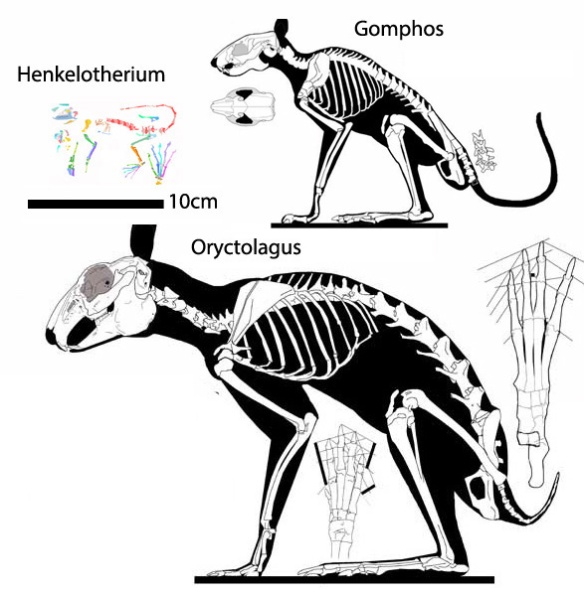 Figure 3. The Lagomorpha clade with the addition of Henkelotherium.