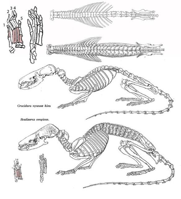 Figure 2. Scutisorex (below) and Crocidura (above) are extant shrews.