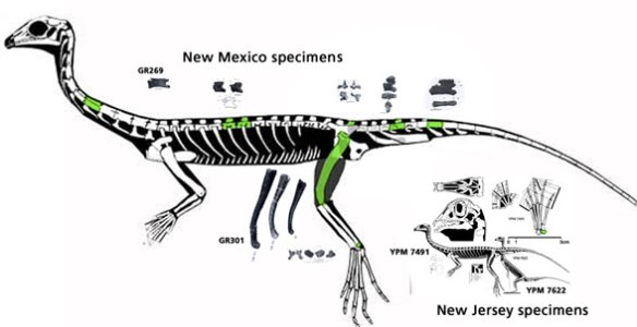 Figure 2. A large incomplete Tanytrachelos from New Mexico compared to the smaller more complete East Coast specimen. Triopticus would be twice as large as the New Mexico specimen.