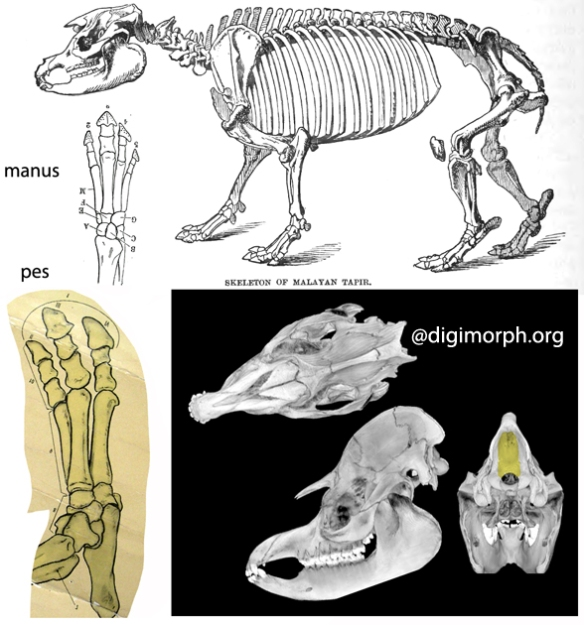 Figure 3. Tapirus the tapir is similar to Astrapotherium, but distinct in several ways. Note the rostrum, like most tetrapods, extends as far as the mandible.