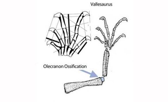 Figure 6. Vallesaurus forelimb as drawn by Renesto and Binellit 2006.