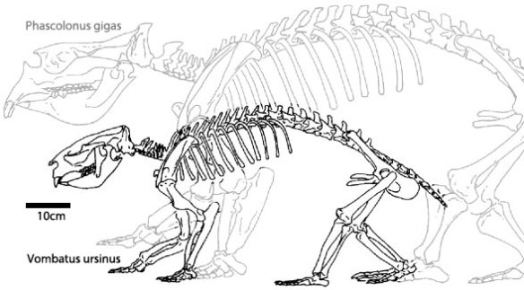 Figure 3. Two large wombats, Vombatus and Phascolonus for comparison.