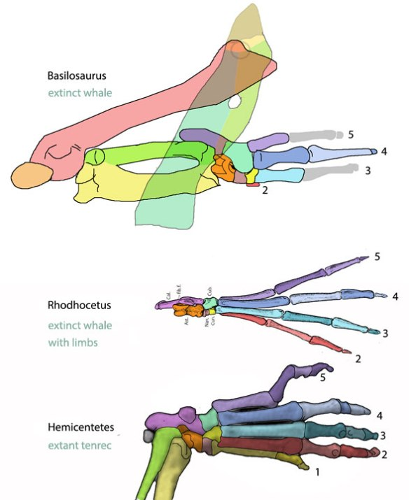 Figure 2. The evolution of the tenrec (Hemicentetes) pes, through the land whale Rhodhocetus and Basilosaurus.