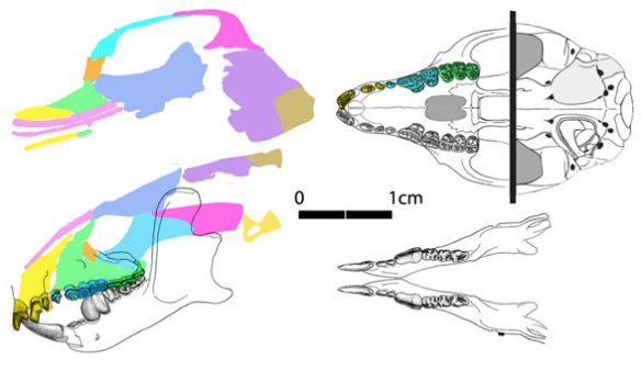 Figure 1. Carpolestes simpsoni skull shows that large lower precursor premolar.