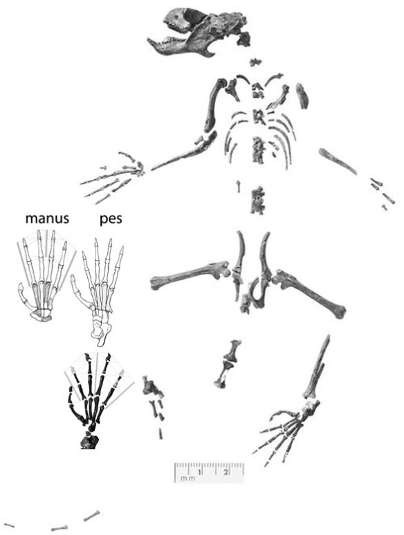 Figure 1. Carpolestes has a thumb-like hallux and polled (digit 1 on manus and pes). Those are primitive traits, not derived ones.