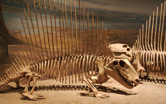 YOU MIGHT HAVE SEEN THIS ANIMAL BEFORE. IT'S DIMETRODON. CREDIT: D'ARCY NORMAN WIKIMEDIA CC BY 2.0 Not sure why Naish is bothering with these popular but irrelevant taxa.